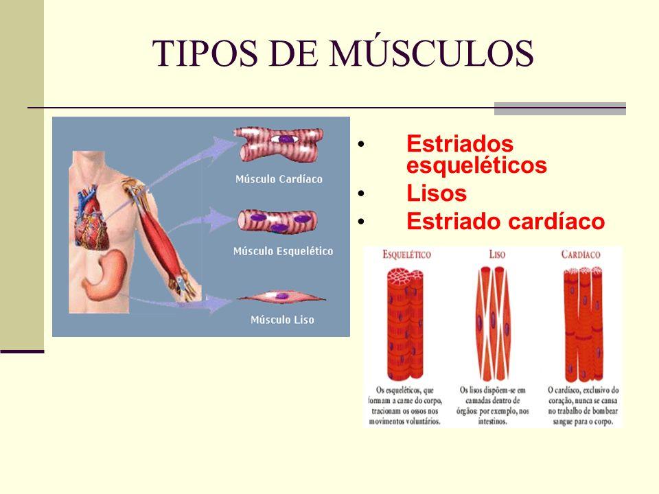 TIPOS DE MÚSCULOS Estriados esqueléticos Lisos Estriado cardíaco