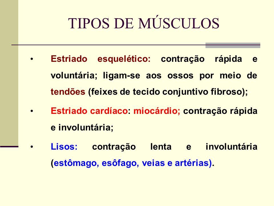 TIPOS DE MÚSCULOS Estriado esquelético: contração rápida e voluntária; ligam-se aos ossos por meio de tendões (feixes de tecido conjuntivo fibroso); Estriado cardíaco: miocárdio; contração rápida e involuntária; Lisos: contração lenta e involuntária (estômago, esôfago, veias e artérias).