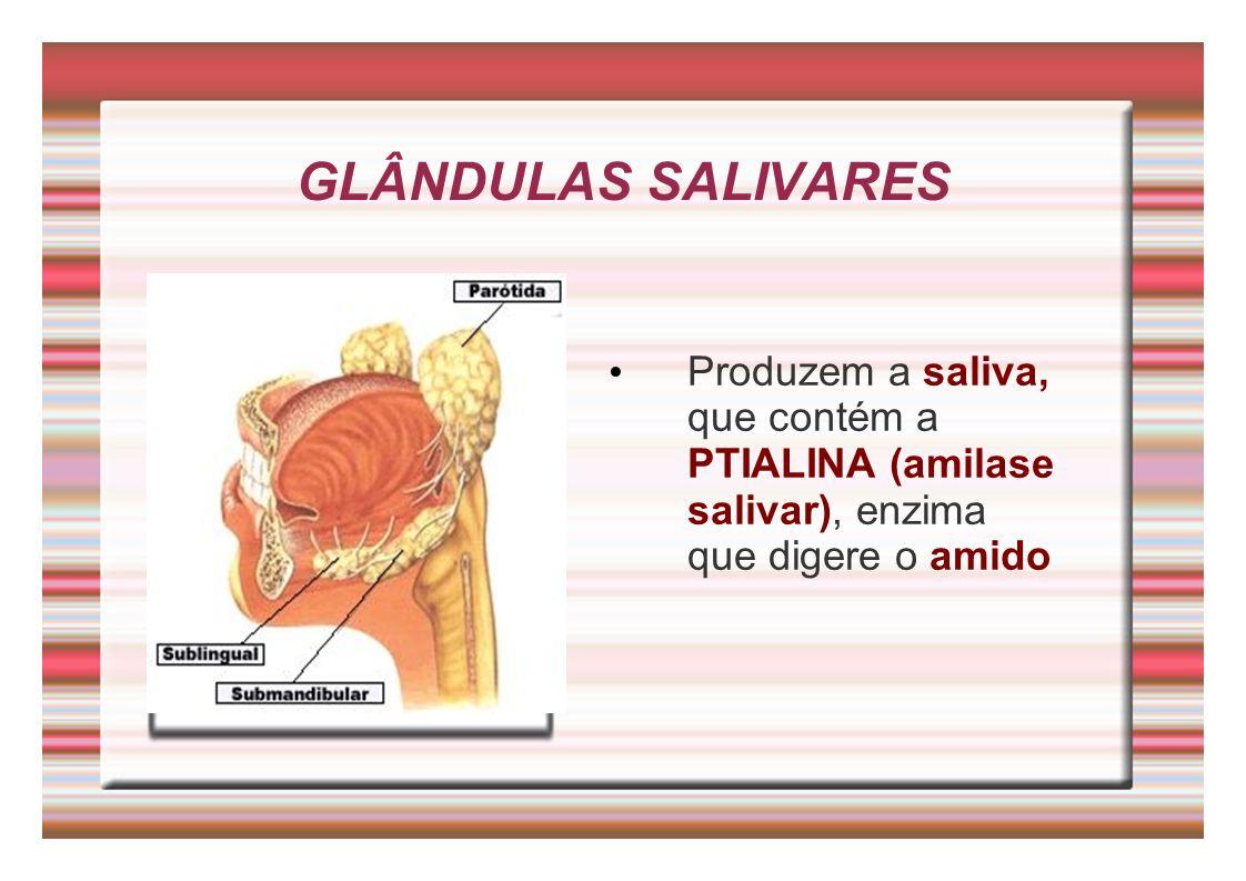 GLÂNDULAS SALIVARES Produzem a saliva, que contém a PTIALINA (amilase salivar), enzima que digere o amido