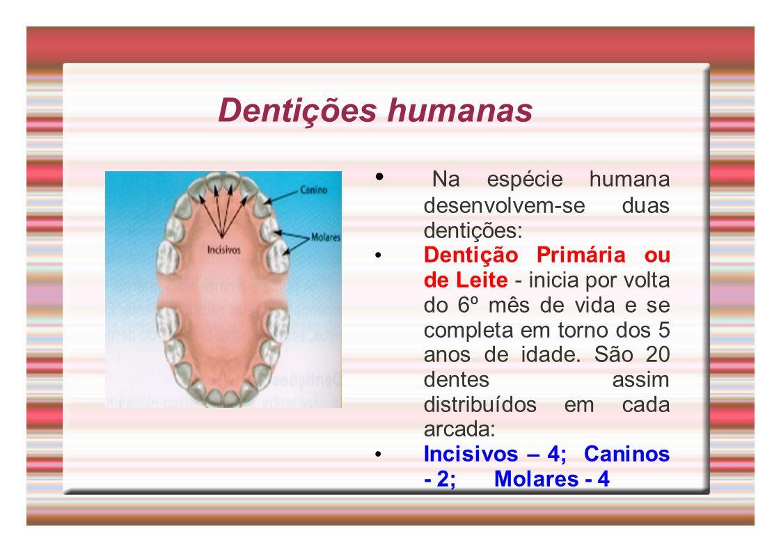 Dentições humanas Na espécie humana desenvolvem-se duas dentições: Dentição Primária ou de Leite - inicia por volta do 6º mês de vida e se completa em