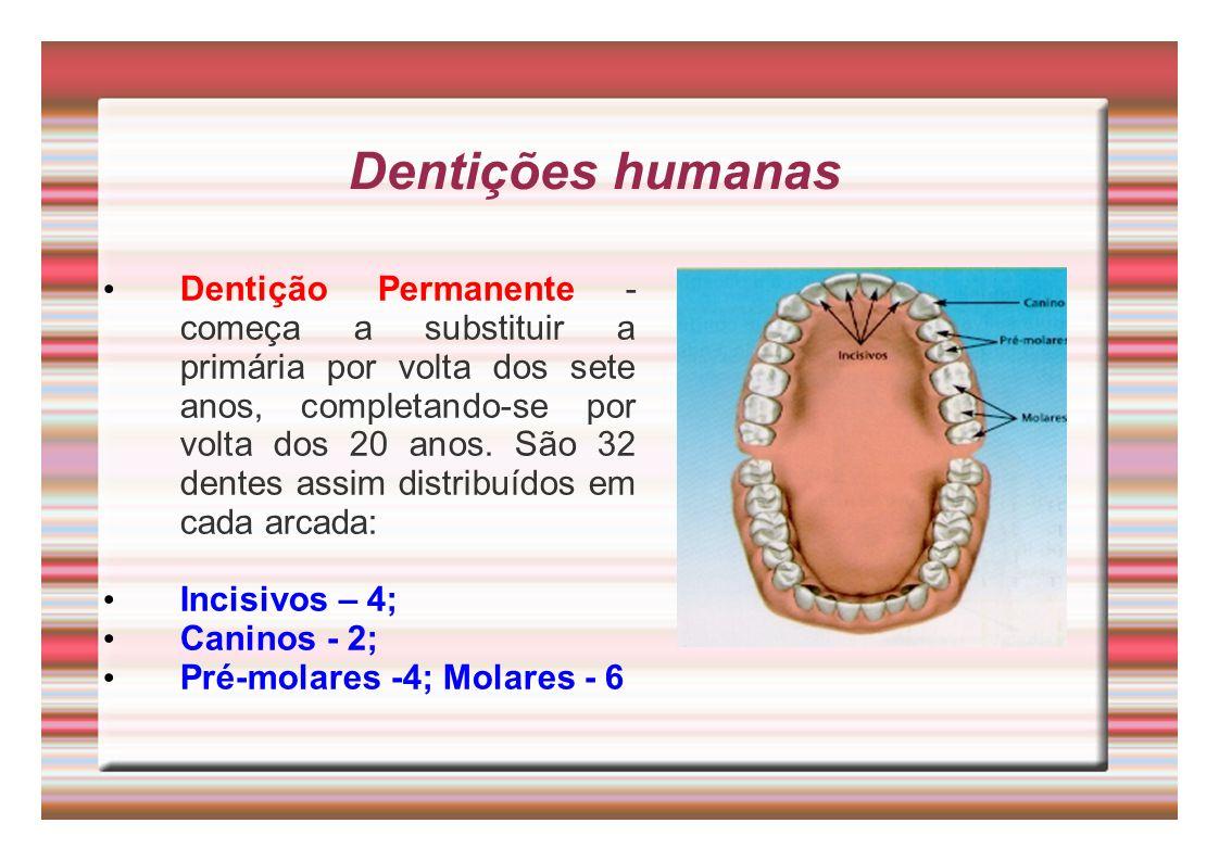Dentições humanas Dentição Permanente - começa a substituir a primária por volta dos sete anos, completando-se por volta dos 20 anos. São 32 dentes as