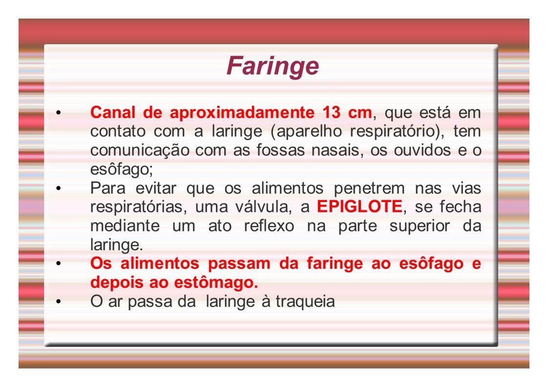 Faringe Canal de aproximadamente 13 cm, que está em contato com a laringe (aparelho respiratório), tem comunicação com as fossas nasais, os ouvidos e