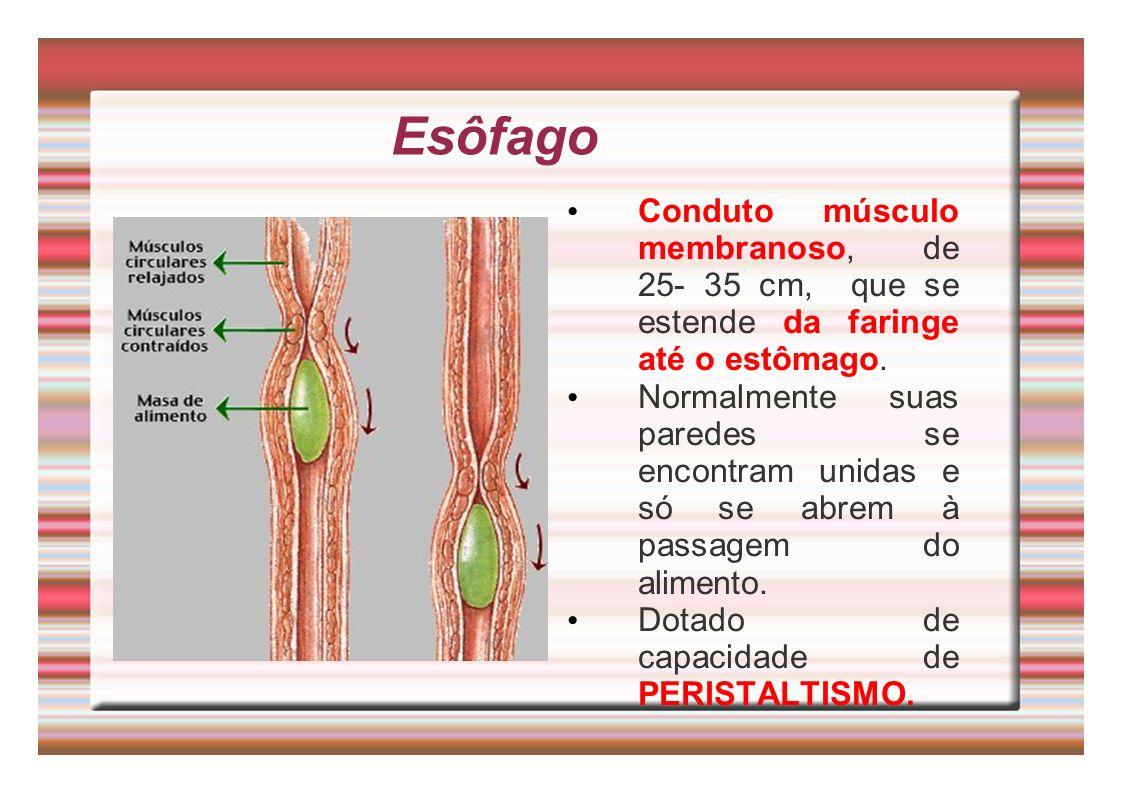 Esôfago Conduto músculo membranoso, de 25- 35 cm, que se estende da faringe até o estômago. Normalmente suas paredes se encontram unidas e só se abrem