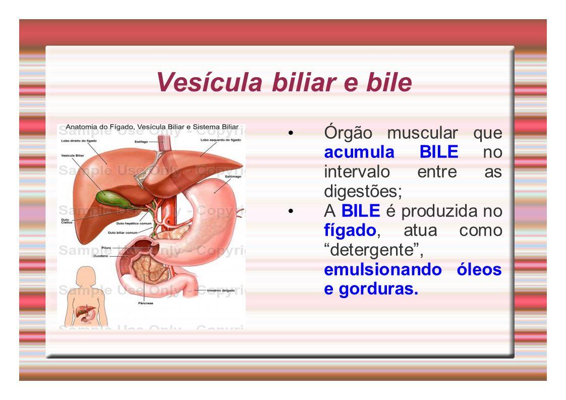 Vesícula biliar e bile Órgão muscular que acumula BILE no intervalo entre as digestões; A BILE é produzida no fígado, atua como detergente, emulsionan