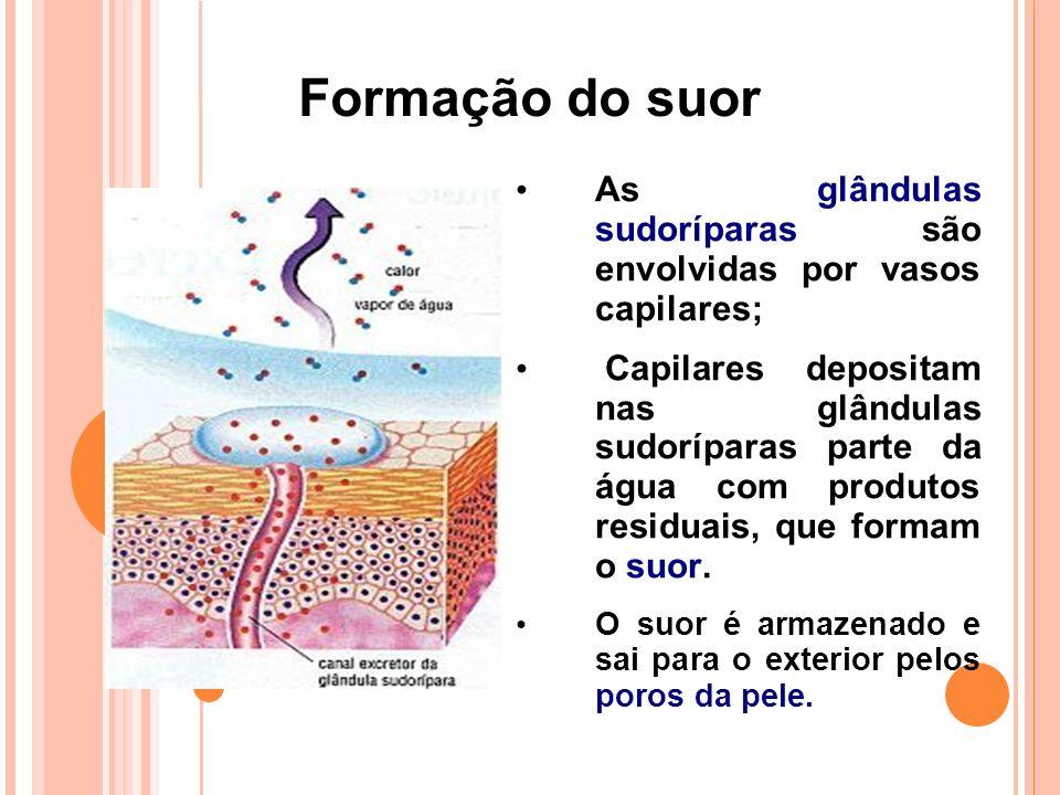 Formação do suor As glândulas sudoríparas são envolvidas por vasos capilares; Capilares depositam nas glândulas sudoríparas parte da água com produtos residuais, que formam o suor.