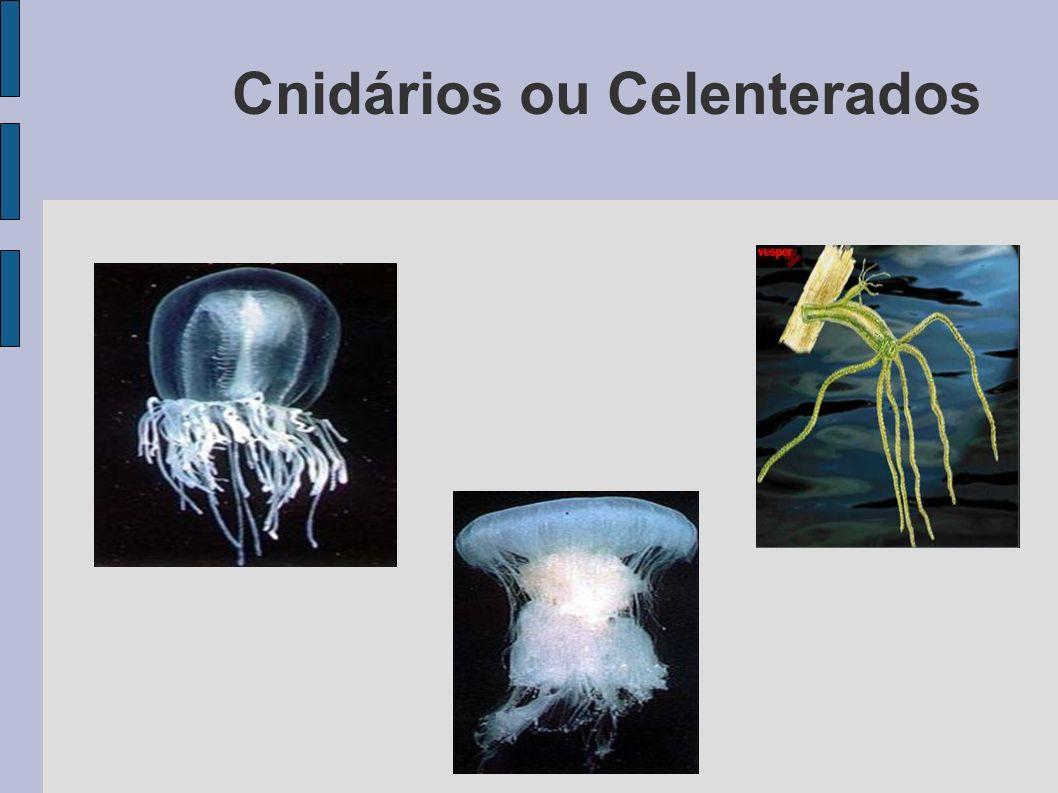 Características Gerais Aquáticos em sua maioria marinhos Aquáticos em sua maioria marinhos Dotados de cnidócitos Dotados de cnidócitos Durante o ciclo vital, a maioria passa por uma fase de medusa com vida livre e outra de pólipo com vida séssil (fixa) Durante o ciclo vital, a maioria passa por uma fase de medusa com vida livre e outra de pólipo com vida séssil (fixa) Pluricelulares Pluricelulares Isolados ou coloniais Isolados ou coloniais Com cavidade digestiva ( com uma abertura única para boca e ânus) Com cavidade digestiva ( com uma abertura única para boca e ânus)