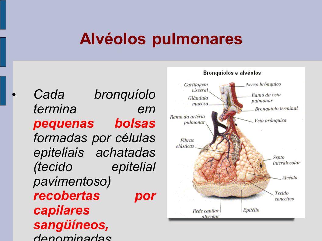 Diafragma A base de cada pulmão apóia-se no diafragma, órgão músculo-membranoso que separa o tórax do abdomen, presente apenas em mamíferos, promovendo, juntamente com os músculos intercostais, os movimentos respiratórios.