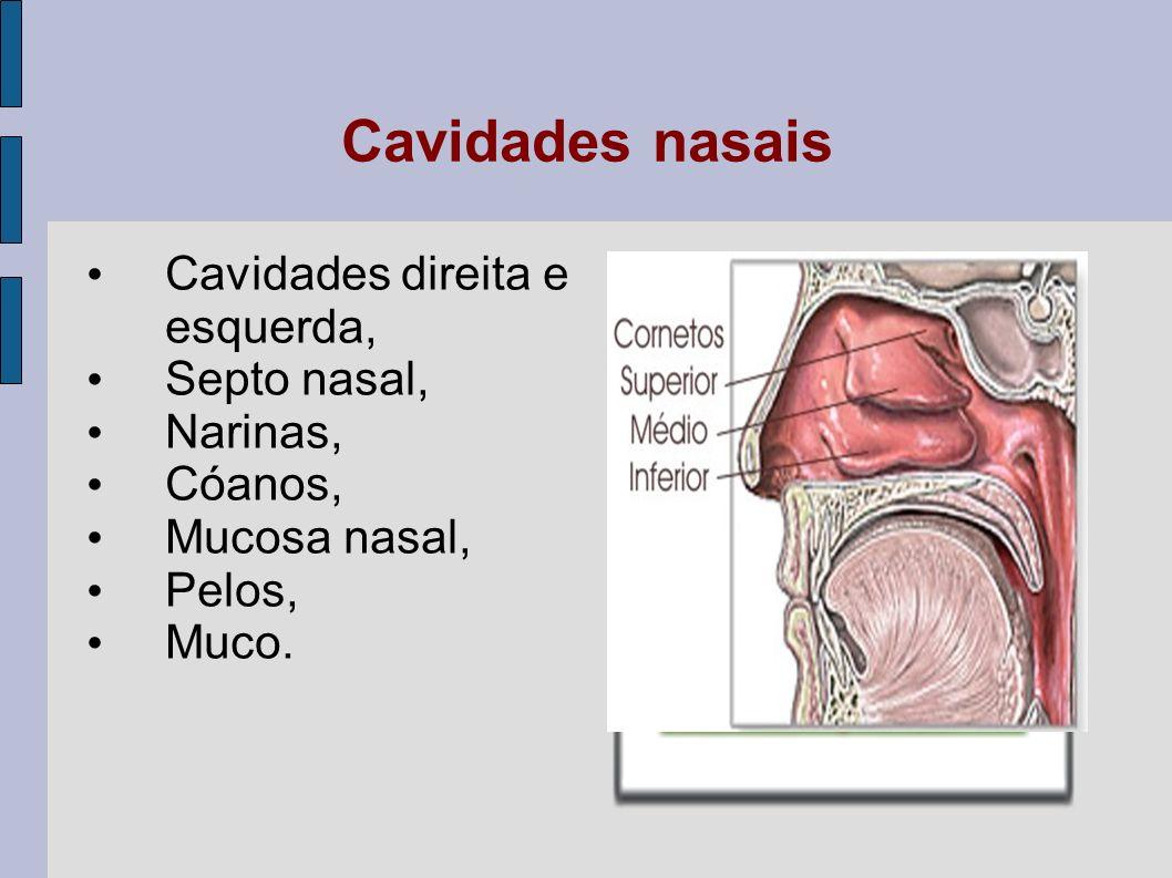 Cavidades nasais - D uas cavidades paralelas que começam nas narinas e terminam na faringe; são separadas uma da outra por uma parede cartilaginosa denominada septo nasal.