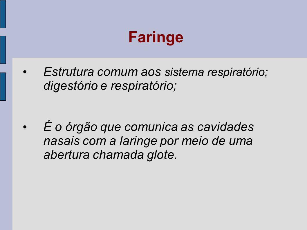 Laringe Tubo cartilagíneo por onde só deve passar o ar, As pregas vocais situam-se na laringe.