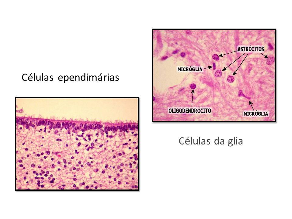 Células ependimárias Células da glia