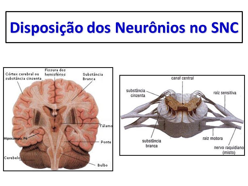 Disposição dos Neurônios no SNC