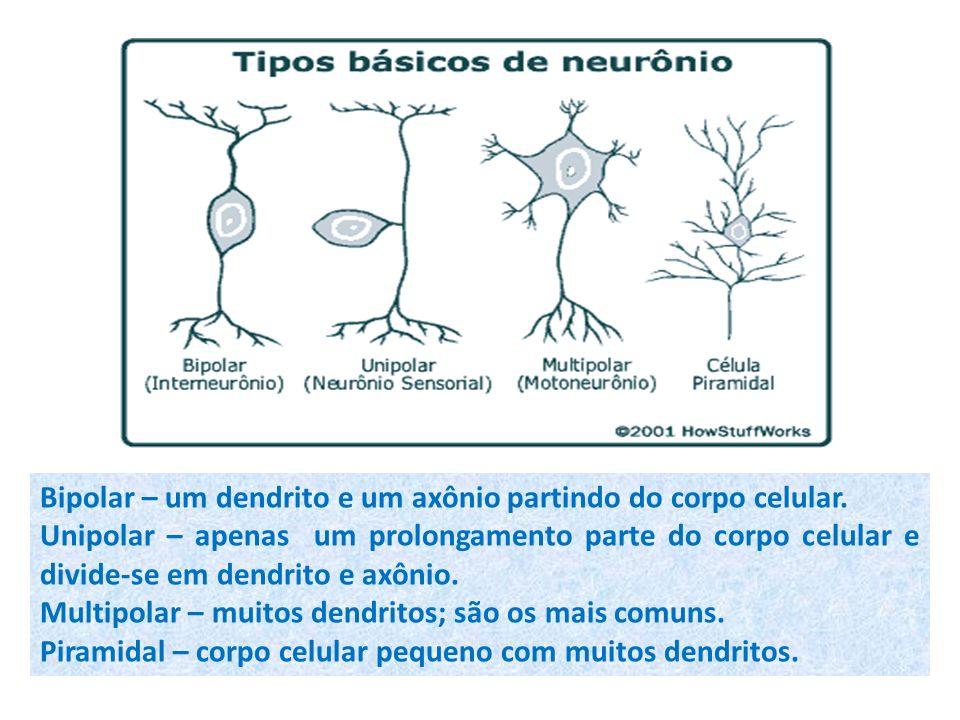 Bipolar – um dendrito e um axônio partindo do corpo celular. Unipolar – apenas um prolongamento parte do corpo celular e divide-se em dendrito e axôni