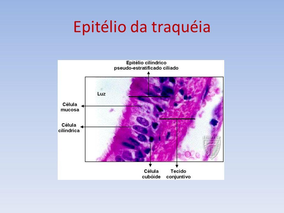 Tipos de glândulas Exócrina – porção secretora associada a ductos que eliminam a secreção fora do corpo ou dentro de cavidades.