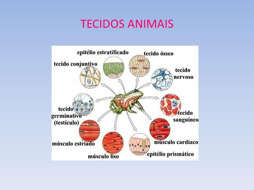Características gerais dos epitélios Justaposição das células e pouca matriz extracelular; ausência de vasos sanguíneos; Funções: revestimento, absorção e secreção; Origem diversificada: Ectoderma – epiderme.