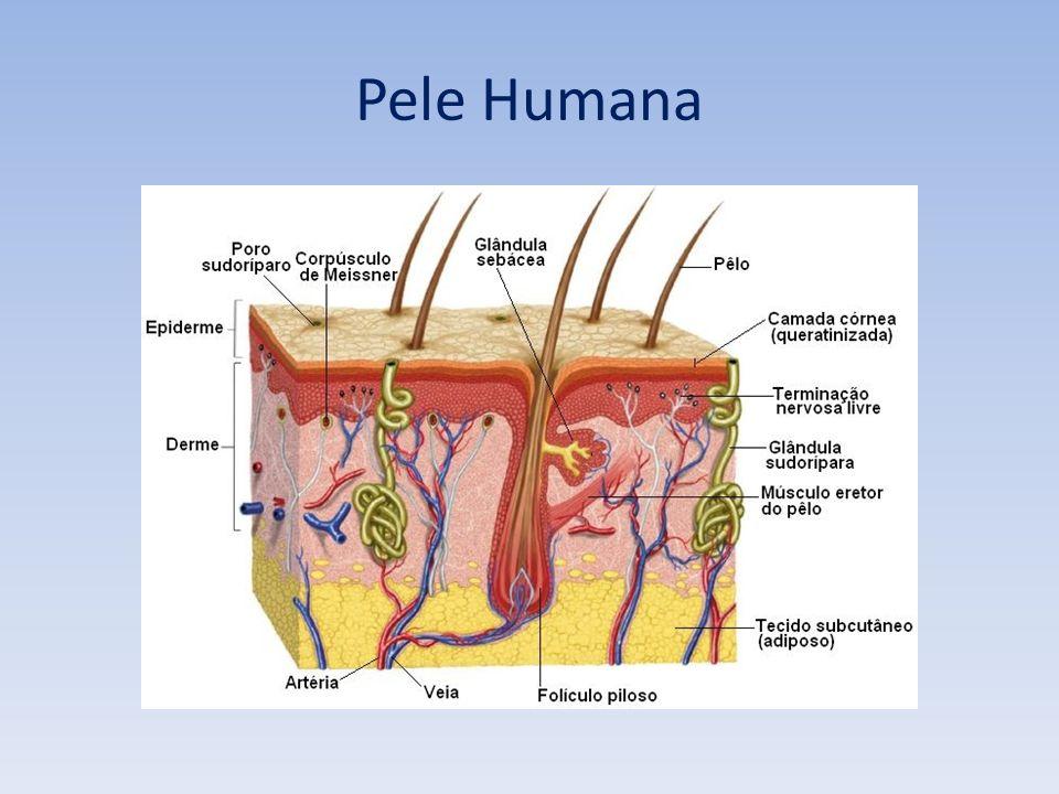 Pêlos e glândulas sebáceas – anexos epiteliais