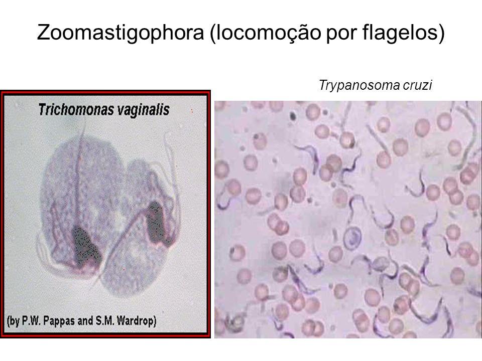 Zoomastigophora (locomoção por flagelos) Trypanosoma cruzi