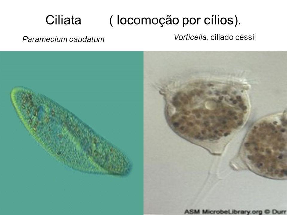 Ciliata ( locomoção por cílios). Paramecium caudatum Vorticella, ciliado céssil