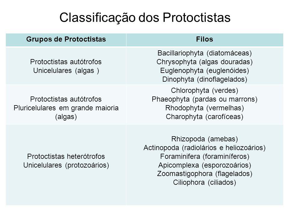 Classificação dos Protoctistas Grupos de ProtoctistasFilos Protoctistas autótrofos Unicelulares (algas ) Bacillariophyta (diatomáceas) Chrysophyta (al
