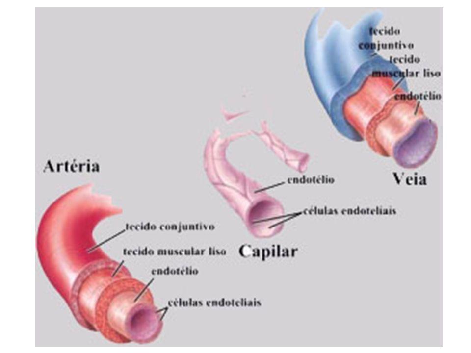 VEIAS Vasos que chegam ao coração, trazendo o sangue dos órgãos e tecidos. Três camadas A diferença, porém, é que a camada muscular e a conjuntiva são
