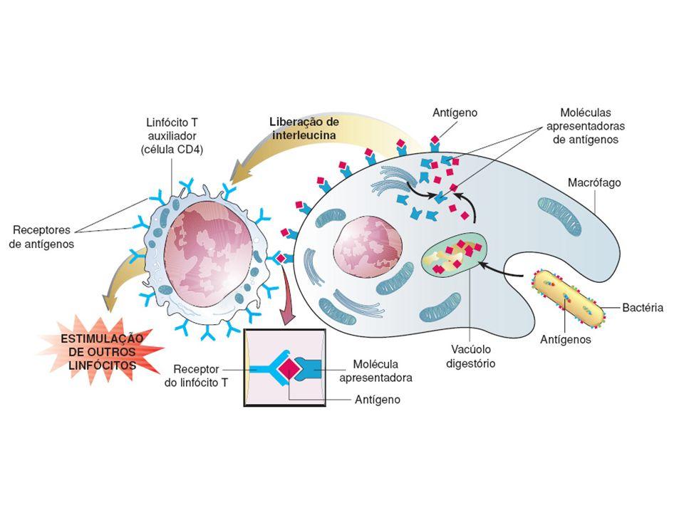 LOCAIS DE PRODUÇÃO LINFÓCITOS B E T - MEDULA ÓSSEA LINFÓCITOS T MIGRAM PARA O TIMO (terminam seu amadurecimento)
