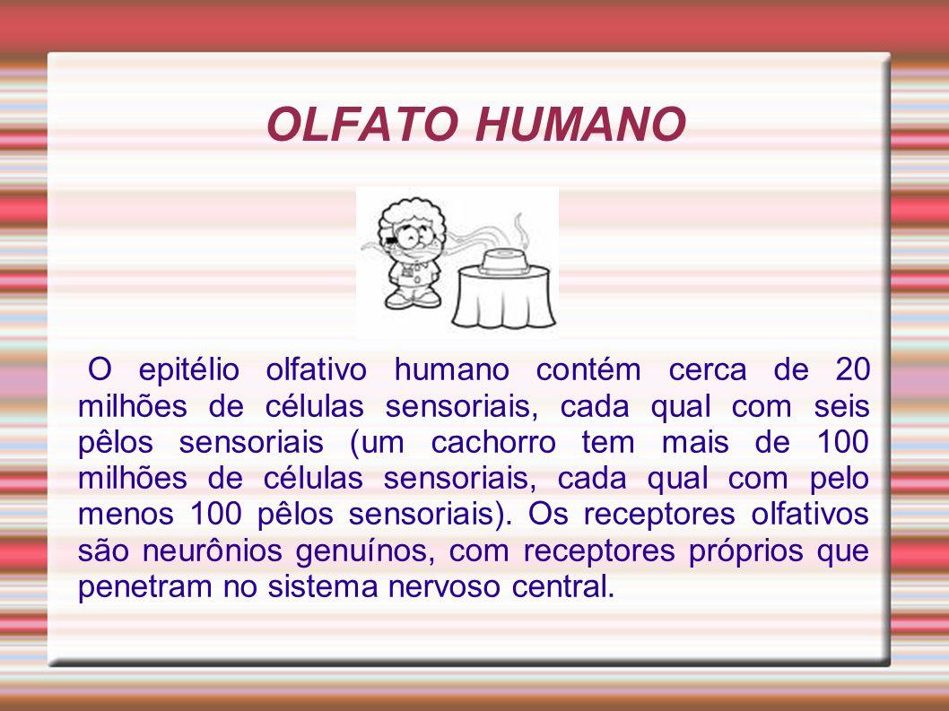 OLFATO HUMANO O epitélio olfativo humano contém cerca de 20 milhões de células sensoriais, cada qual com seis pêlos sensoriais (um cachorro tem mais d