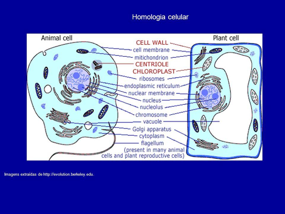 Imagens extraídas de http://evolution.berkeley.edu. Homologia celular