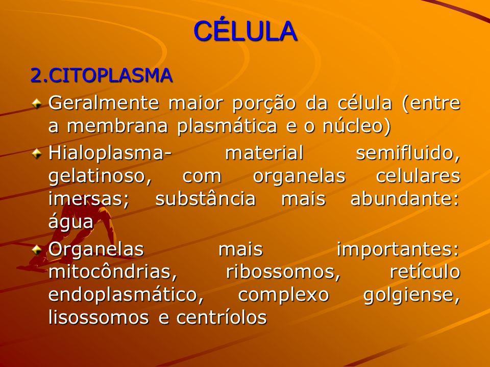 CÉLULA 2.CITOPLASMA Geralmente maior porção da célula (entre a membrana plasmática e o núcleo) Hialoplasma- material semifluido, gelatinoso, com organ