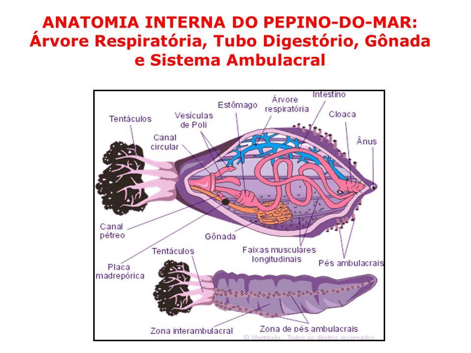ANATOMIA INTERNA DO PEPINO-DO-MAR: Árvore Respiratória, Tubo Digestório, Gônada e Sistema Ambulacral