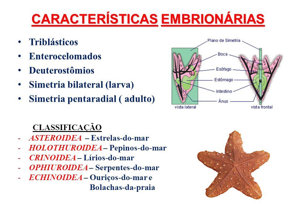 CARACTERÍSTICAS EMBRIONÁRIAS Triblásticos Enterocelomados Deuterostômios Simetria bilateral (larva) Simetria pentaradial ( adulto) CLASSIFICAÇÃO -ASTE