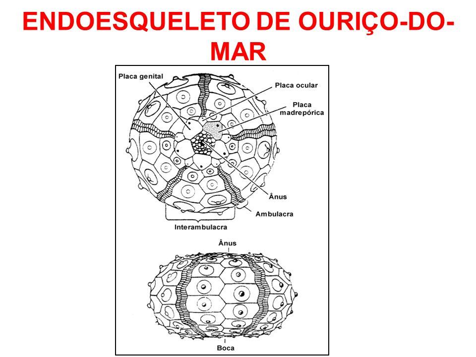 ENDOESQUELETO DE OURIÇO-DO- MAR