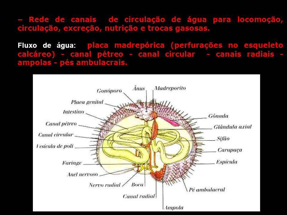 – Rede de canais de circulação de água para locomoção, circulação, excreção, nutrição e trocas gasosas. Fluxo de água: placa madrepórica (perfurações