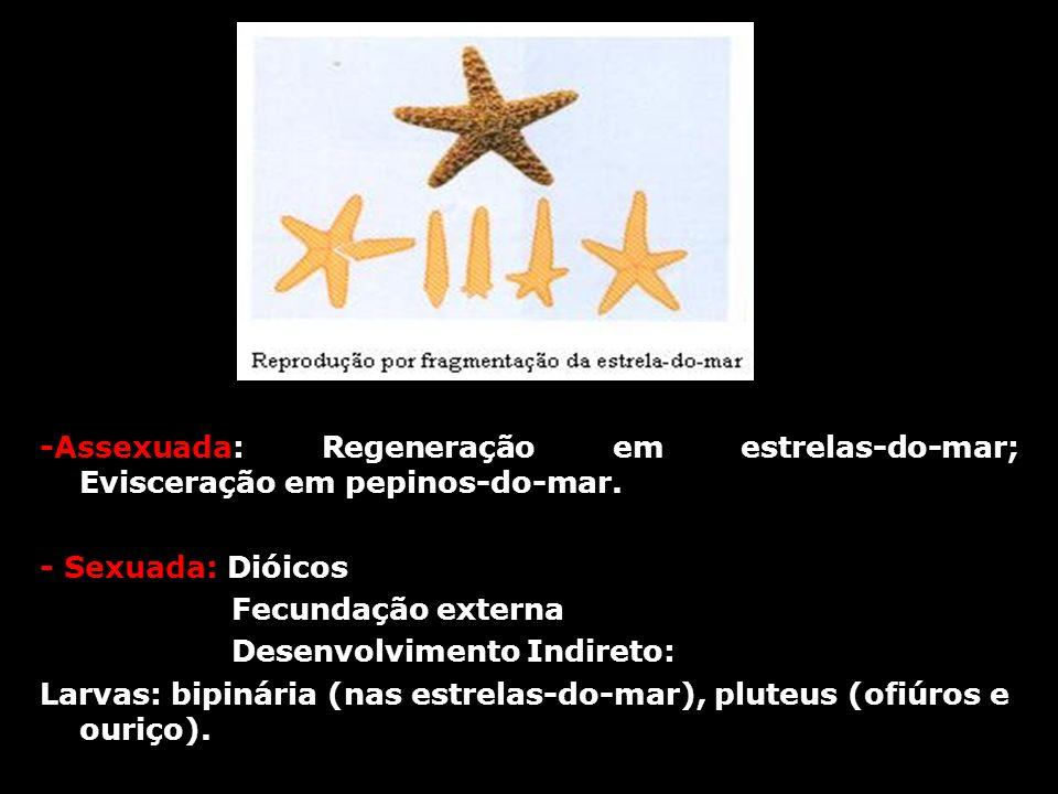 -Assexuada: Regeneração em estrelas-do-mar; Evisceração em pepinos-do-mar. - Sexuada: Dióicos Fecundação externa Desenvolvimento Indireto: Larvas: bip