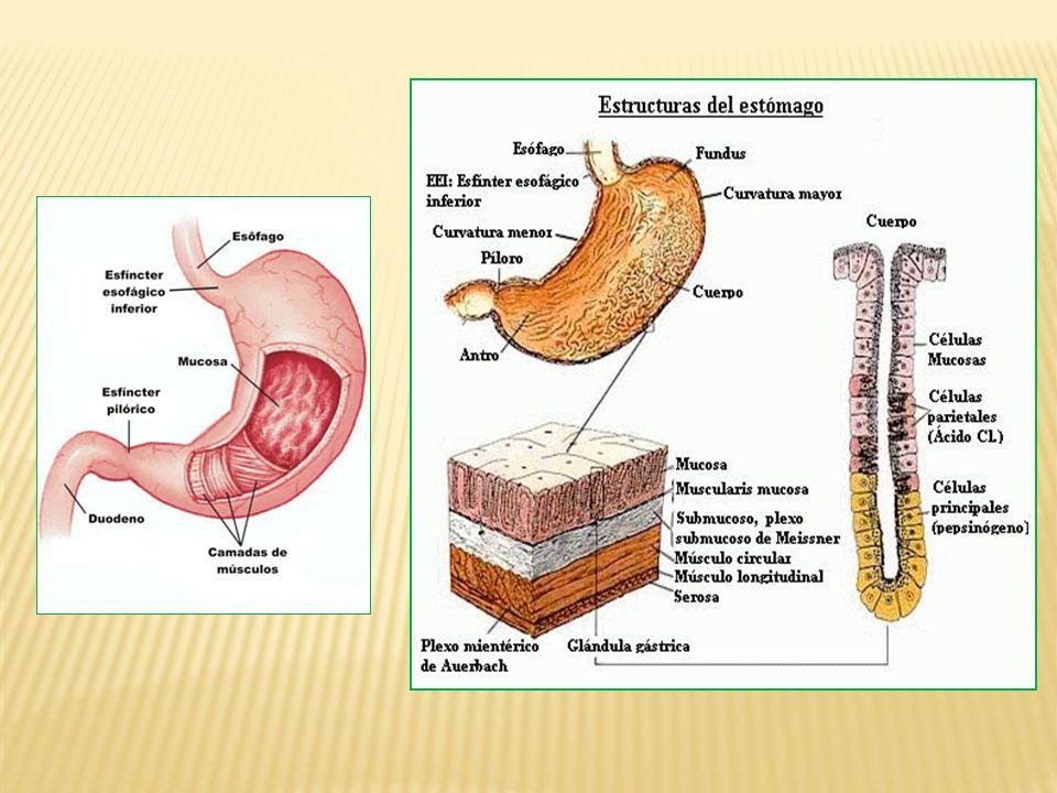 Estômago (pH 0,9 a 2,0): No estômago é produzido o suco gástrico, que além de HCl e H 2 O apresenta pepsina.