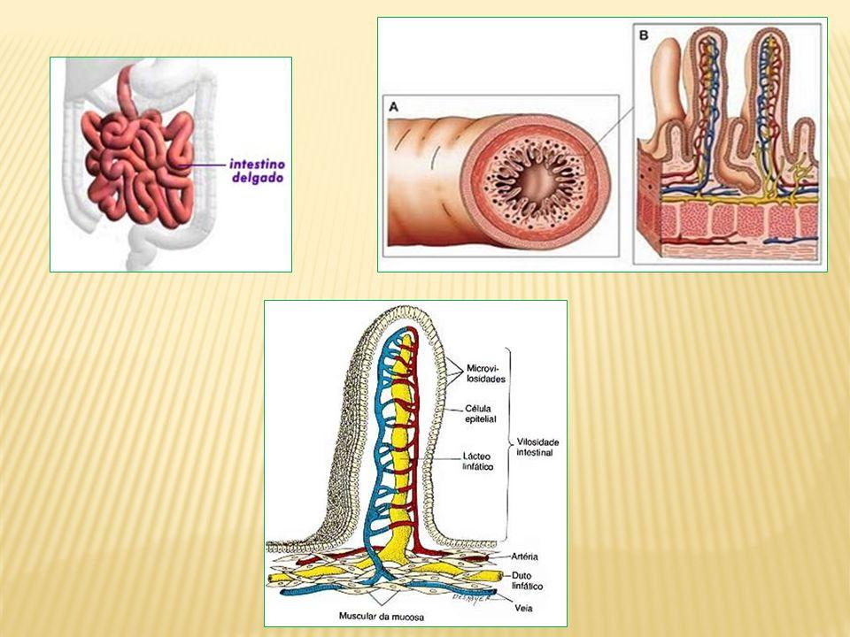 Pâncreas: libera suco pancreático para o duodeno.