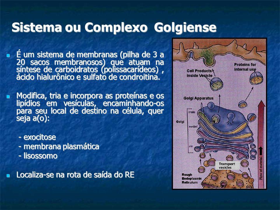 Sistema ou Complexo Golgiense É um sistema de membranas (pilha de 3 a 20 sacos membranosos) que atuam na síntese de carboidratos (polissacarídeos), ác