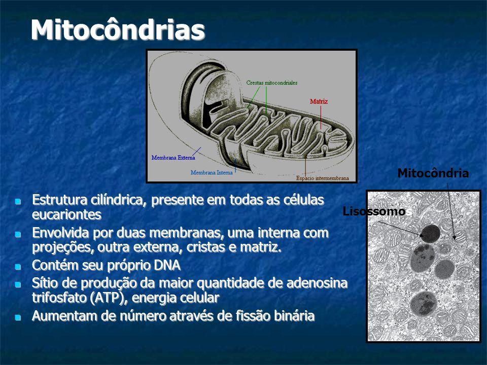 Mitocôndrias Estrutura cilíndrica, presente em todas as células eucariontes Estrutura cilíndrica, presente em todas as células eucariontes Envolvida p