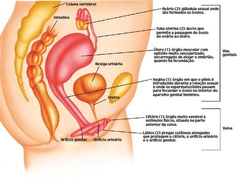 Sistema reprodutor feminino é composto por: Ovários Trompas Útero Vagina Vulva
