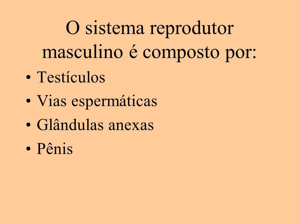 O sistema reprodutor masculino é composto por: Testículos Vias espermáticas Glândulas anexas Pênis