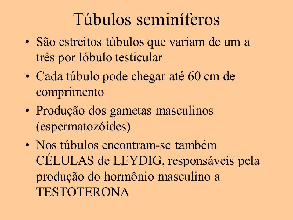 Túbulos seminíferos São estreitos túbulos que variam de um a três por lóbulo testicular Cada túbulo pode chegar até 60 cm de comprimento Produção dos gametas masculinos (espermatozóides) Nos túbulos encontram-se também CÉLULAS de LEYDIG, responsáveis pela produção do hormônio masculino a TESTOTERONA