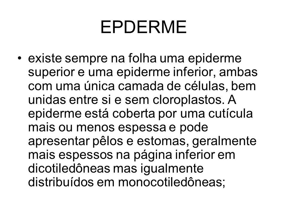 EPDERME existe sempre na folha uma epiderme superior e uma epiderme inferior, ambas com uma única camada de células, bem unidas entre si e sem cloropl