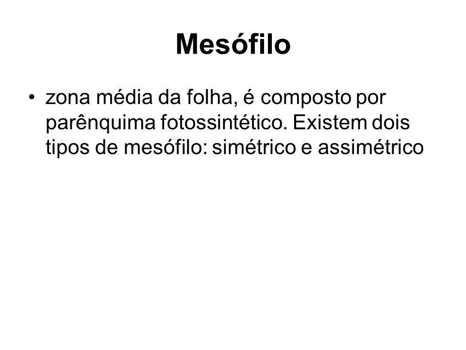 Mesófilo zona média da folha, é composto por parênquima fotossintético. Existem dois tipos de mesófilo: simétrico e assimétrico