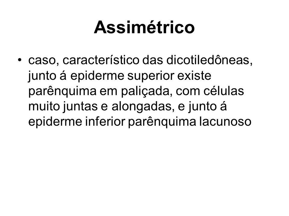 Assimétrico caso, característico das dicotiledôneas, junto á epiderme superior existe parênquima em paliçada, com células muito juntas e alongadas, e