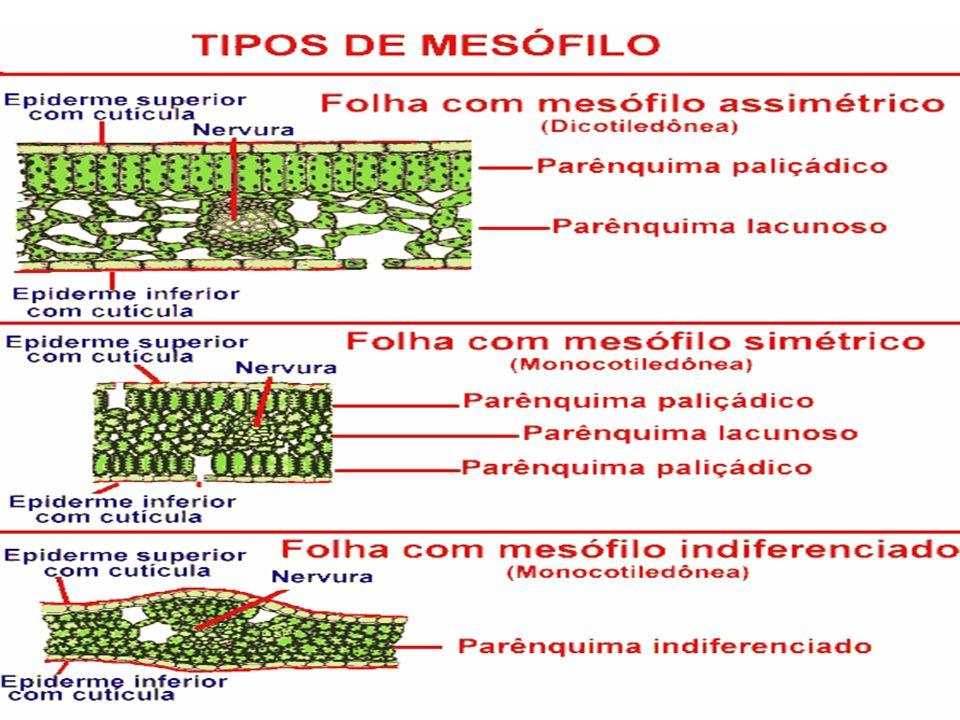 Tecidos vasculares formados pelo xilema e floema, têm função de sustentação e transporte de nutrientes orgânicos e minerais, localizando-se no interior do mesófilo.