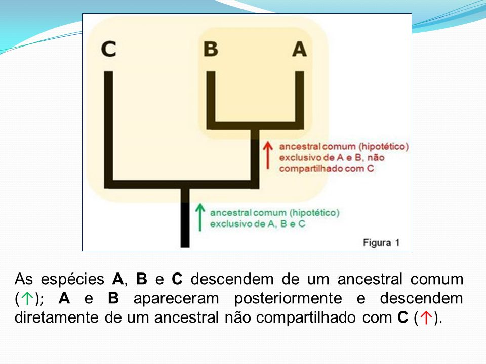 As espécies A, B e C descendem de um ancestral comum (); A e B apareceram posteriormente e descendem diretamente de um ancestral não compartilhado com