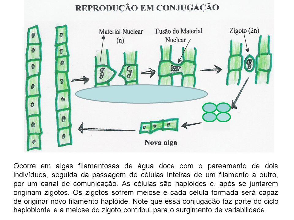 Ocorre em algas filamentosas de água doce com o pareamento de dois indivíduos, seguida da passagem de células inteiras de um filamento a outro, por um