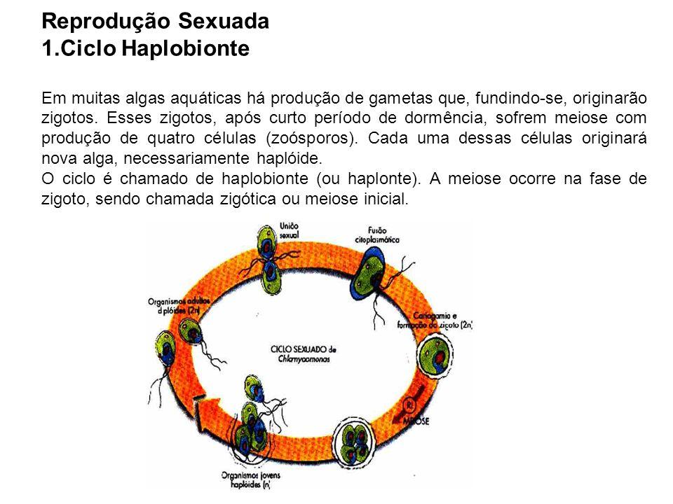 Reprodução Sexuada 1.Ciclo Haplobionte Em muitas algas aquáticas há produção de gametas que, fundindo-se, originarão zigotos. Esses zigotos, após curt