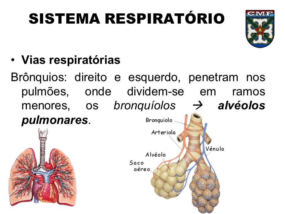 SISTEMA RESPIRATÓRIO Vias respiratórias Brônquios: direito e esquerdo, penetram nos pulmões, onde dividem-se em ramos menores, os bronquíolos alvéolos