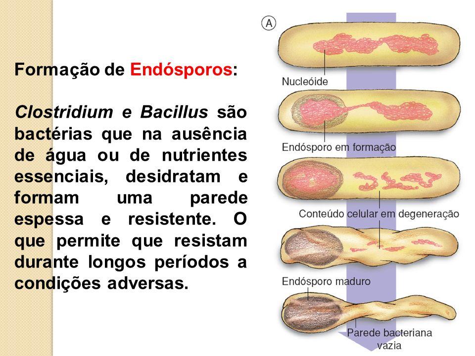 Formação de Endósporos: Clostridium e Bacillus são bactérias que na ausência de água ou de nutrientes essenciais, desidratam e formam uma parede espes