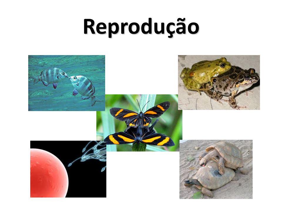 Reprodução Sexuada Fecundação: união do espermato- zóide com o óvulo, originando o zigoto (célula-ovo).