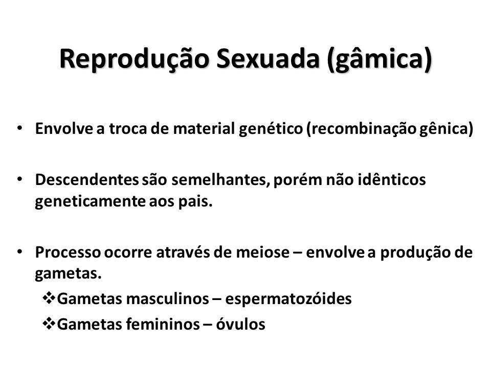 Reprodução Sexuada (gâmica) Indivíduos dióicos: gametas masculino e feminino são produzidos em indivíduos diferentes – sexos separados.